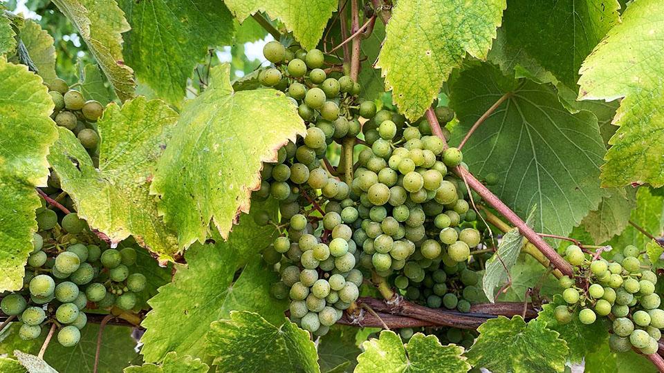 Croma Vera Wines in San Luis Obispo Coast albariño in Spanish Springs vineyard