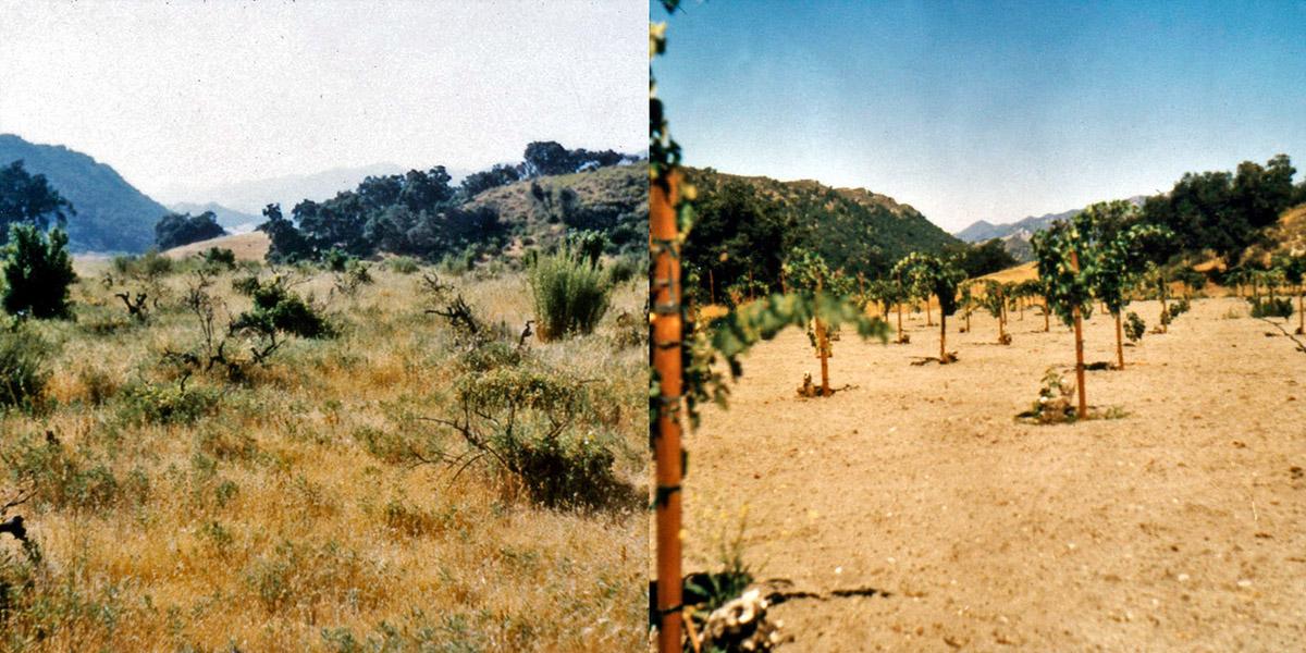 Saucelito Canyon vineyard before & after restoration